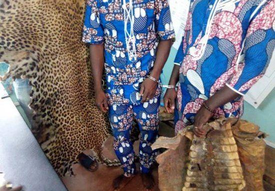 Comè / Lutte contre la criminalité faunique : 2 présumés trafiquants arrêtés avec une peau de léopard et 3 peaux de crocodiles