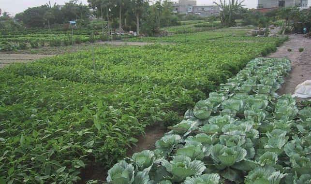 Agriculture péri urbaine au Bénin:Le maraîchage ou culture à plein temps à valoriser