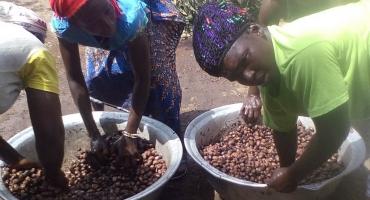 Bénin/ menaces sur une filière porteuse : Le parc arboricole du karité exposé à une législation peu protectrice