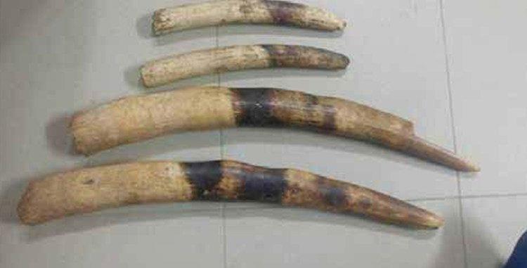 Tribunal de Natitingou : Un trafiquant d'ivoires condamné à 48 mois de prison et 3,3 millions Fcfa