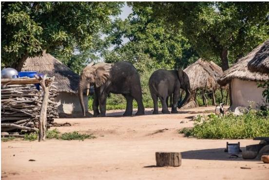 Divagation des animaux sauvages en agglomération Un éléphant cause 02 morts et des dégâts à Kandi